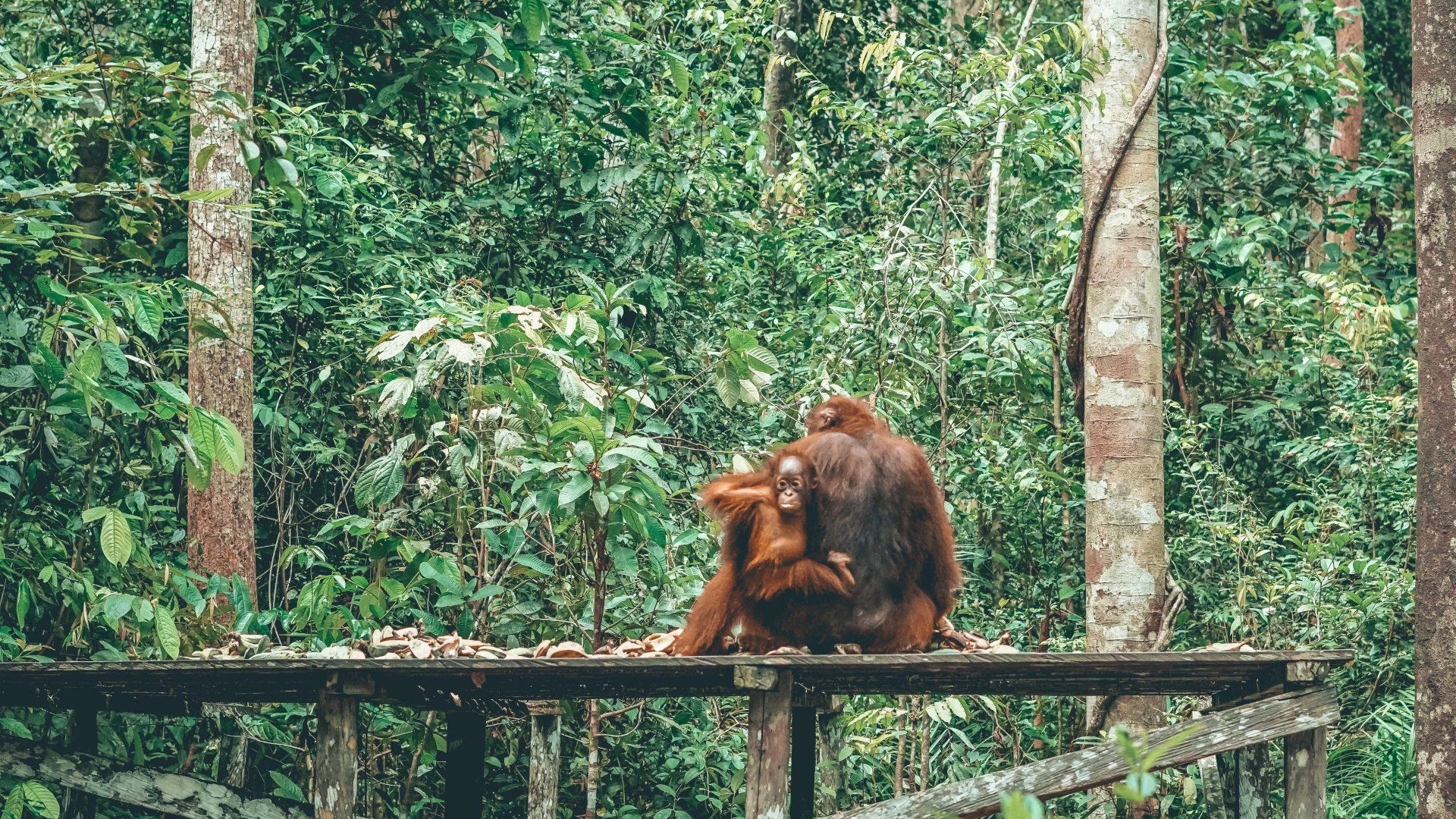 Borneo en klotok buscando orangutanes
